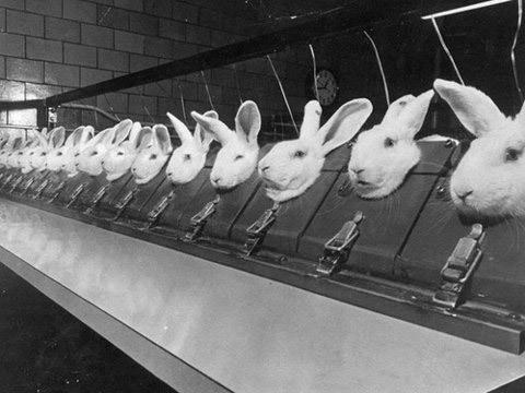 animal-testing-on-rabbits